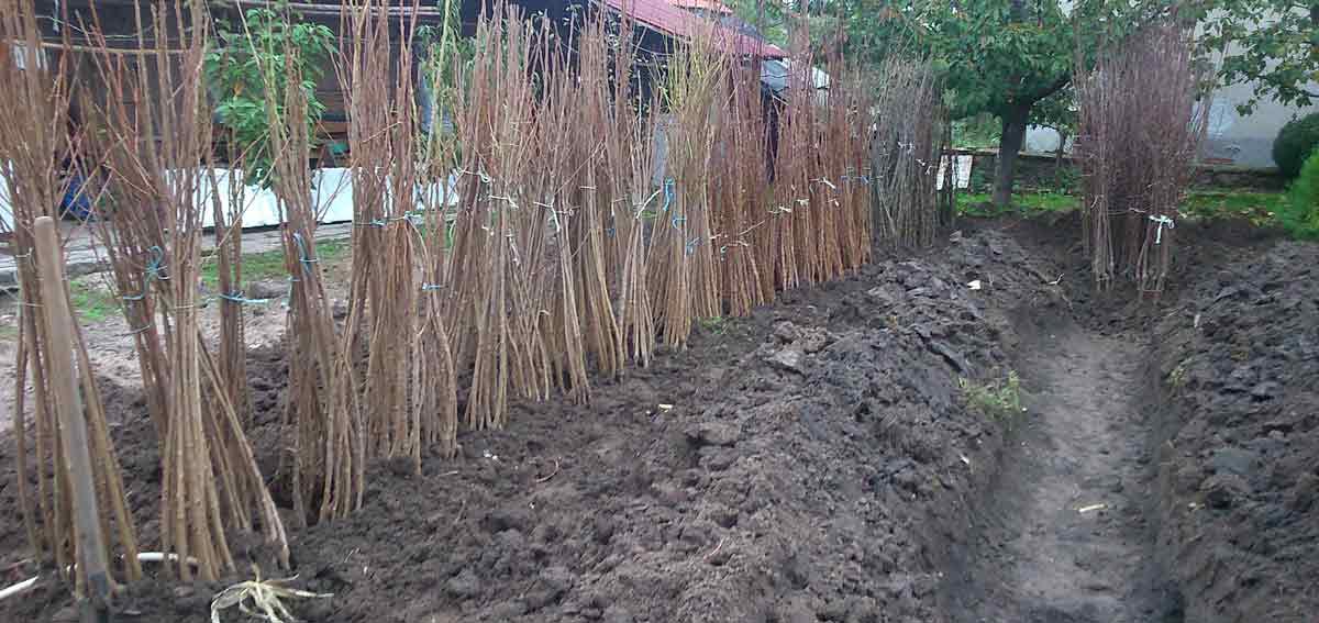 овощни дръвчета цени