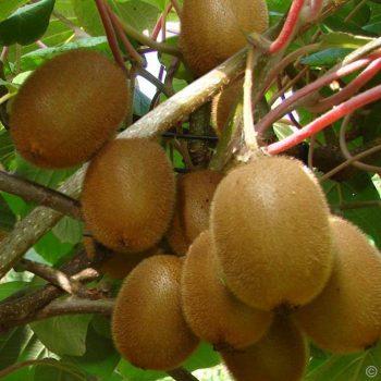 киви kiwi
