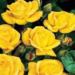 патешко жълта роза