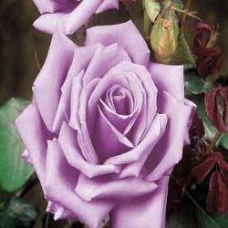 синя роза sinia roza