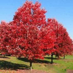 Червен дъб