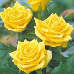 жълта роза sunblest