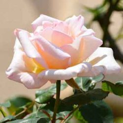 кремаво розова роза без бодли