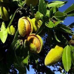 кримски бадем