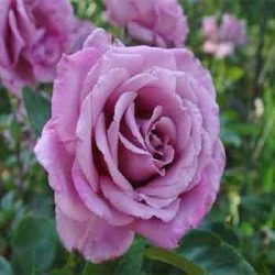 лилава роза