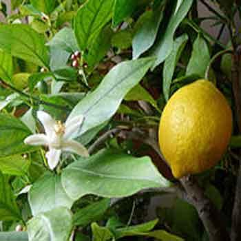лимон limon