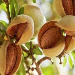 никитски бадем