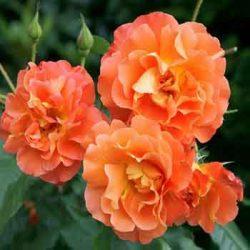 оранжева роза