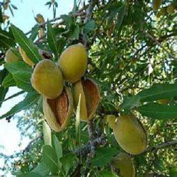 приморски бадем