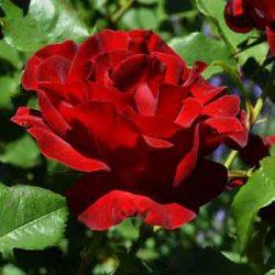 червена-роза