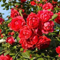 червена роза paul scarlet