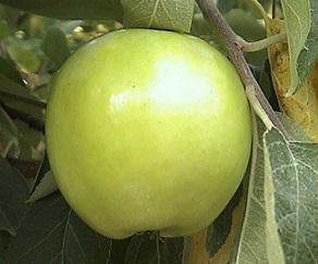 колонна ябълка